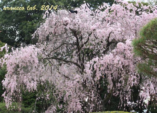 4月11日枝垂れ桜3