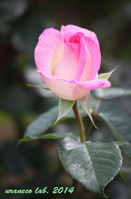 4月24日薔薇2