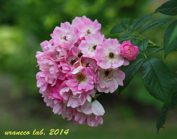 5月15日薔薇2
