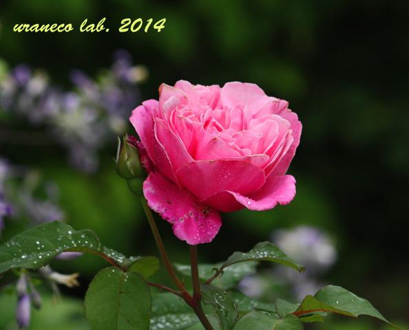 5月15日薔薇