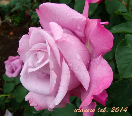 5月15日薔薇5
