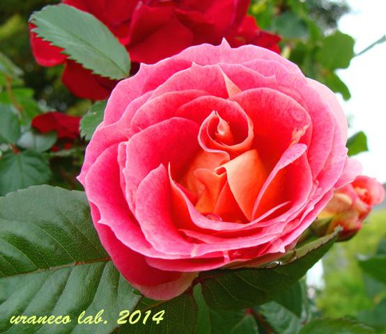 5月15日薔薇8
