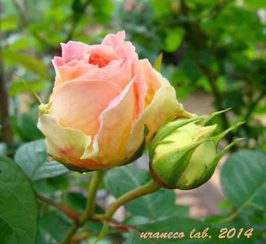 5月15日薔薇9
