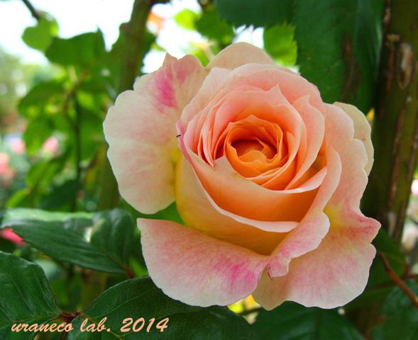5月15日薔薇苑