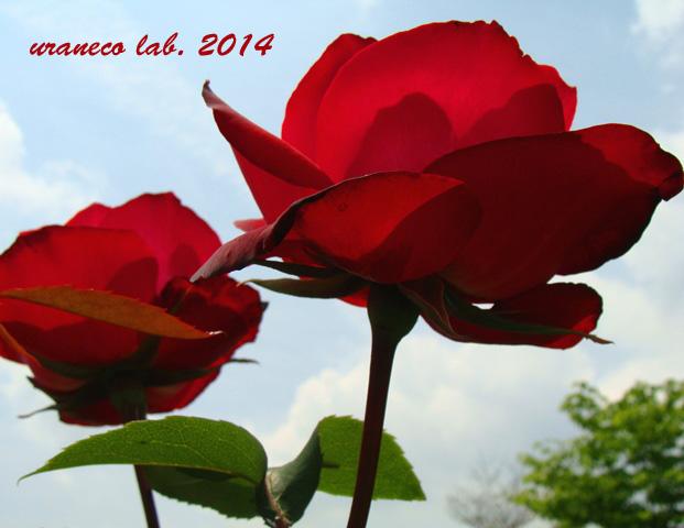 5月15日薔薇苑7