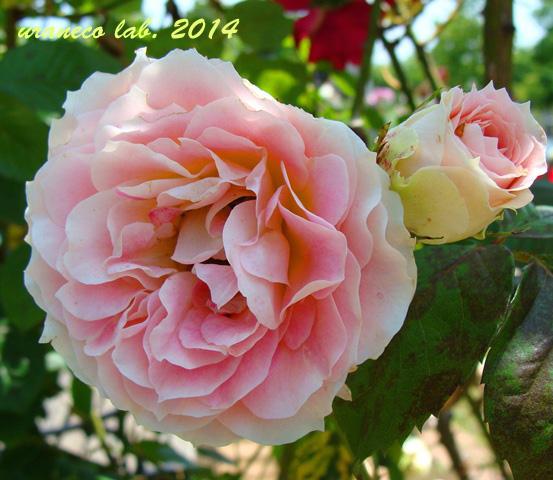 5月15日薔薇苑8
