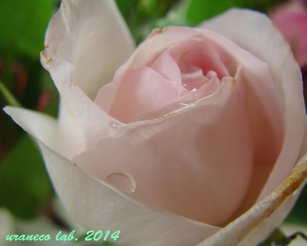 5月27日薔薇8
