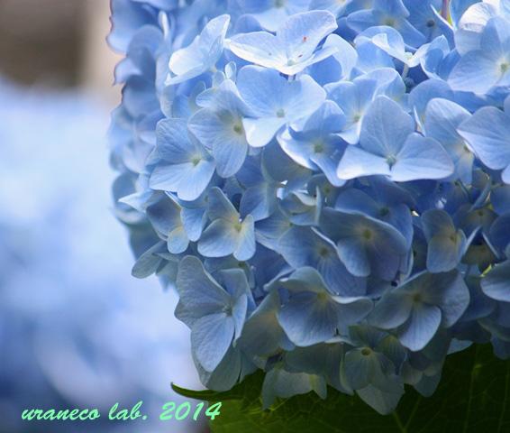 6月5日紫陽花7