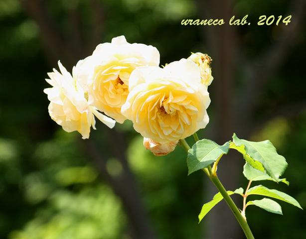6月16日薔薇2