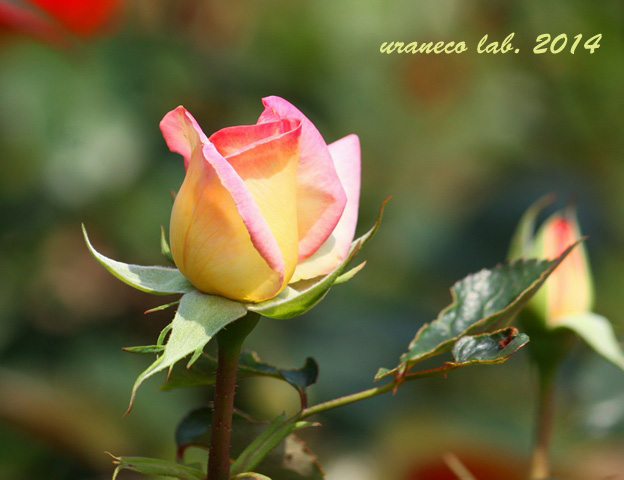 6月16日薔薇5