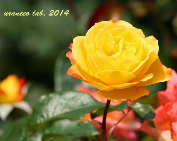 6月16日薔薇