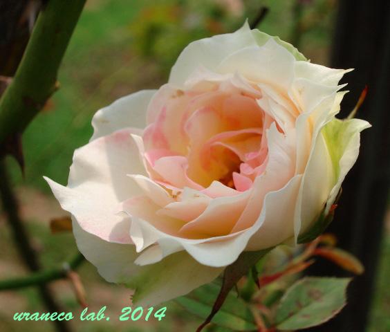 5月27日薔薇