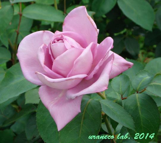 5月27日薔薇2