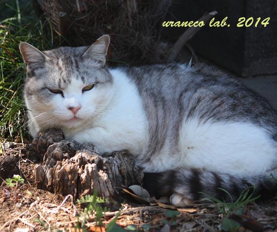 6月16日灰白縞猫2