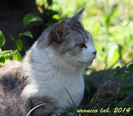 6月16日灰白縞猫5