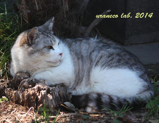 6月16日灰白縞猫6