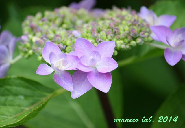 6月6日紫陽花3