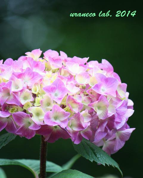 6月5日紫陽花6
