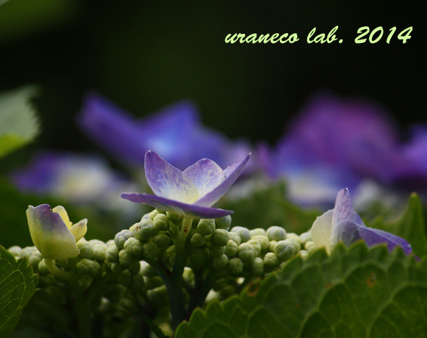 6月25日額紫陽花2