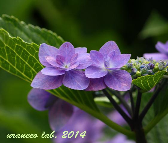 6月25日額紫陽花3