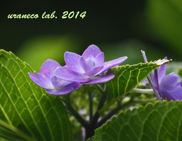 6月25日額紫陽花4