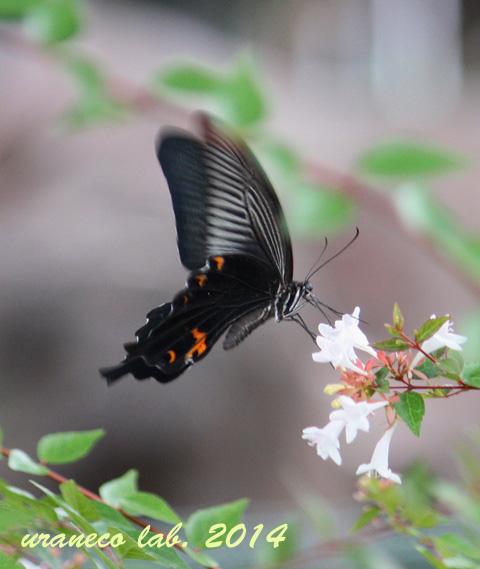 6月25日黒蝶