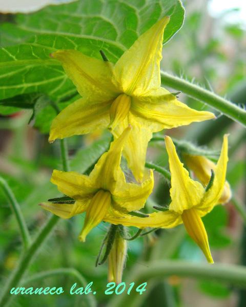 7月7日黄色い星の花
