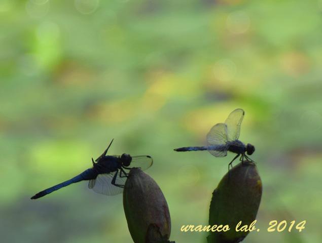7月13日蜻蛉