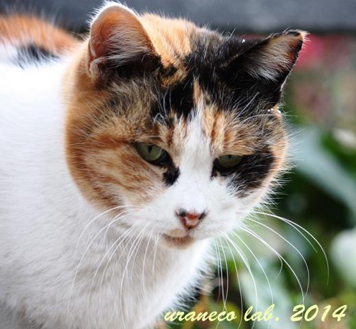 2月1日三毛猫しっぽ有3