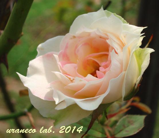 8月1日夏の薔薇