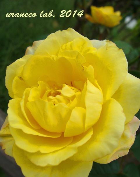 8月12日黄色い薔薇