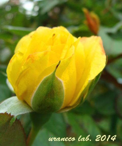 8月12日黄色い薔薇2
