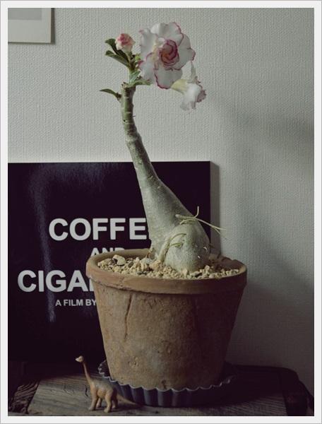 砂漠のバラ
