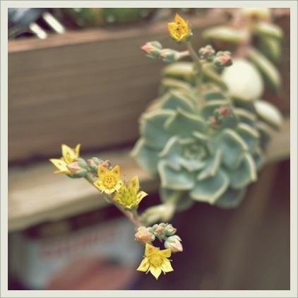 白牡丹の花