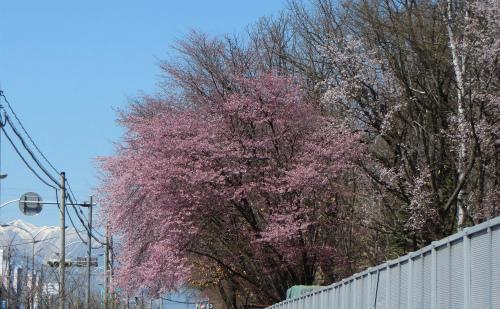 日高山脈と桜