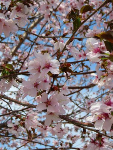 淡ピンクの桜