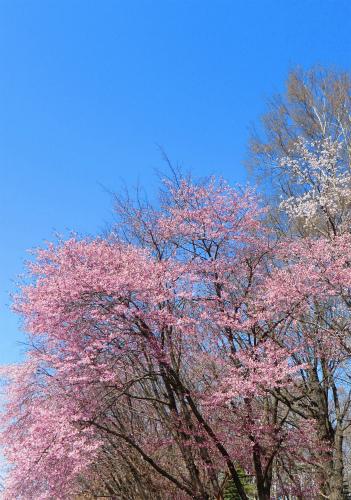 西町公園の桜