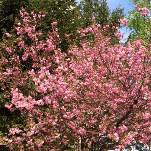 札幌八重桜