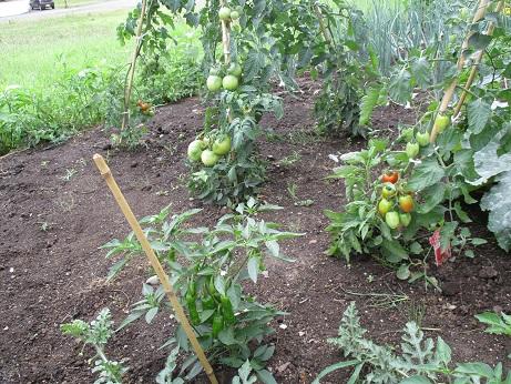 豊平トマト