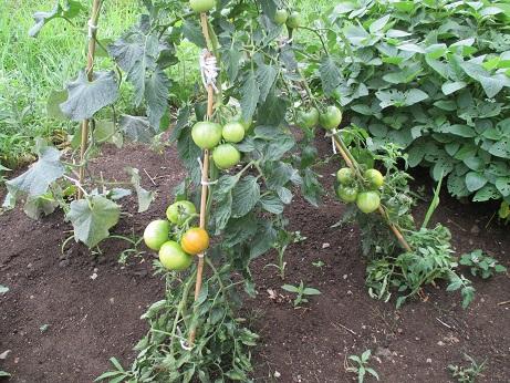 東山トマト