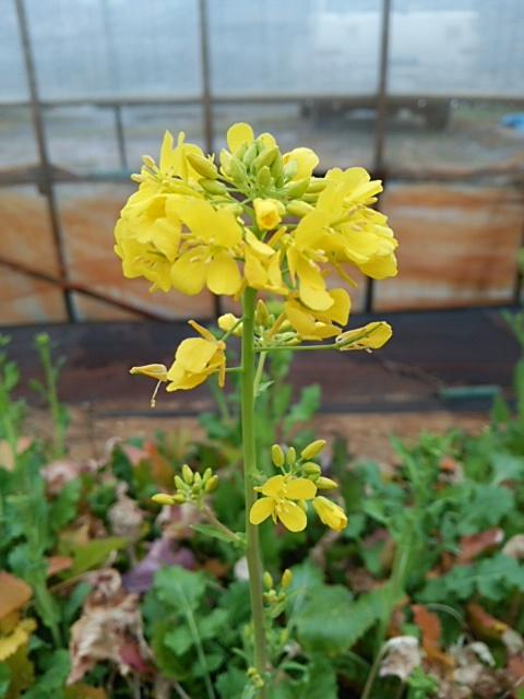中島菜の花