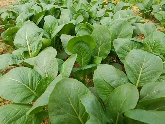 小松菜 収穫時
