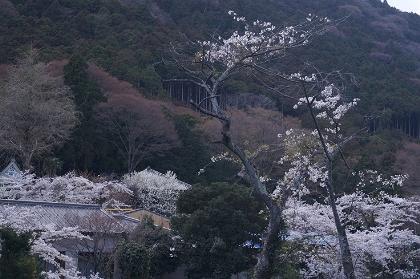 20140405藤原岳15