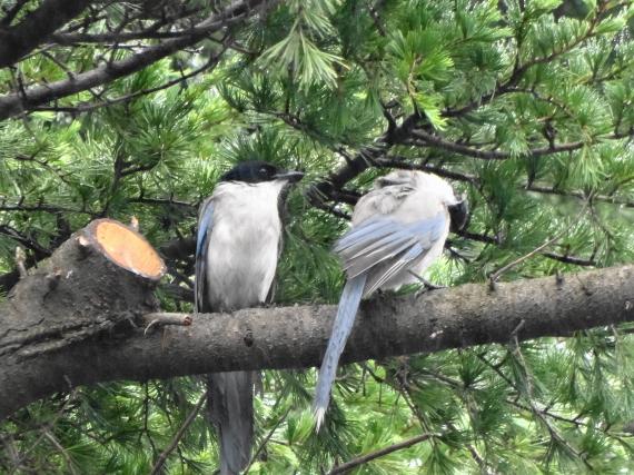 葛飾八幡宮 野鳥