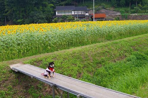 君田のひまわり (14)
