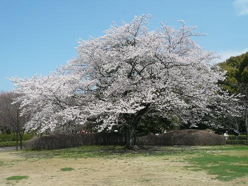 枝ぶりの見事な桜