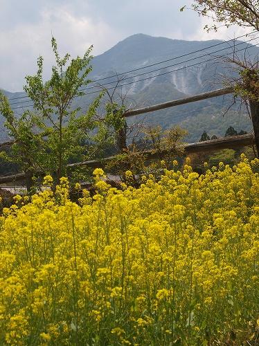 菜の花と武甲山