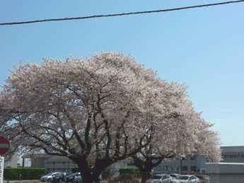 2014-4-8教習所桜
