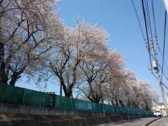 2014-4-8高校桜