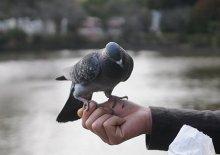 鎌倉手乗り鳩